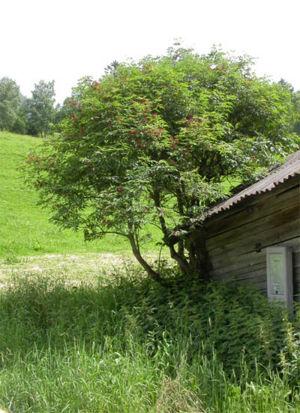 trauben holunder sambucus racemosa heckipedia. Black Bedroom Furniture Sets. Home Design Ideas